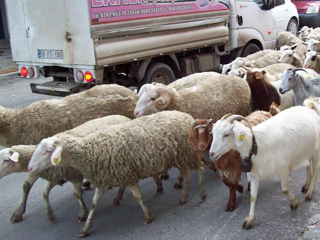 goat & sheep